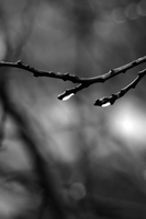 Buds by ArgentumChloride