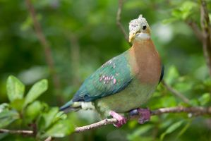 Fruit Dove by secondclaw