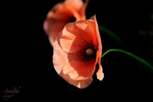 Poppy Love by Amalphi