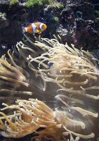 Amphiprion Ocellaris by c1n3kk