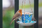 Teacup Robin by TammyPhotography