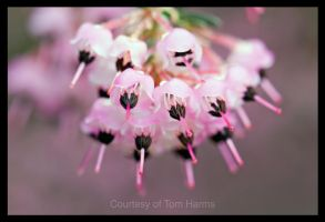 Pink Parasols by acutely
