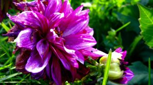 Morning dahlia by TortueBulle