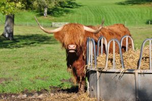 Highland Coo by PomPrint