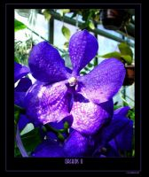 Orchids II by HowlingBanshee