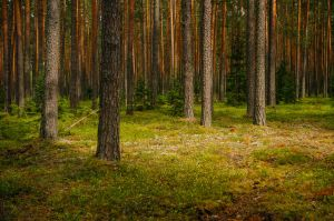 pine forest by dzorma