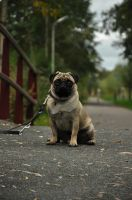 Our Pug, named Google by Zwartmetaal