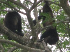 Costa Rica: Howler Monkeys by emilyg2014