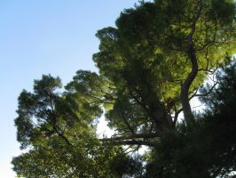 ancient white pine 5 by crazygardener