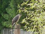 Cooper's hawk by Kanabo