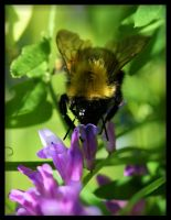 Bee Pollinating by NOS2002