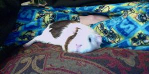 Relaxing Gurgi the Guinea Pig. by mch2020moehunt