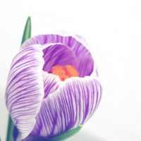 .Crocus. by xmagdax