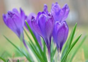 crocuses - two by jeanbeanxoxo