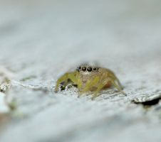 Tiny Salticidae by duggiehoo