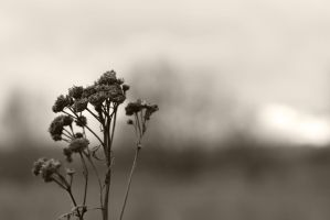 Dried Flower by timonpl