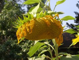 Old Sunflower by avicados