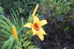 Yellow Lilly by TTSnim