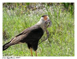 Caracara Lunchtime by Cillana