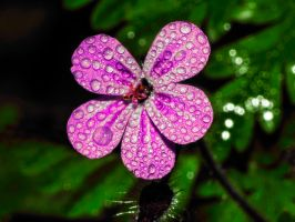 Flower drops 5 by Mackingster