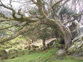 Old Tree In Ireland by DarkLegacy416