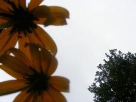 daisies by poeticwriter007