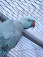 Blue Ringneck male by sugawinkle