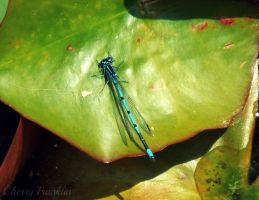 Damselfly by Cherry-Cheese-Cake