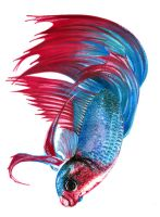 Betta Splenden I by Atomdesigns