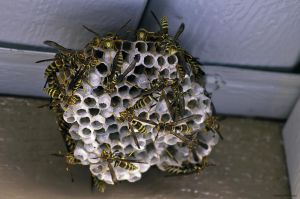 Mega Paper Wasp Nest by dannypyle