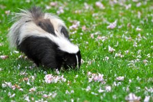 skunk and blossom by contemporaryhart