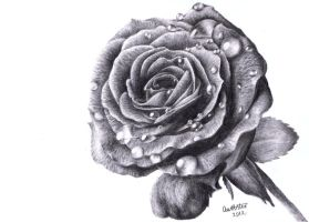 Rose Drawing by annoKat