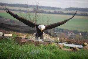 Bald Eagle 7 by kool007kat-stock