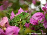 Iguana in Wonderland by torreoso