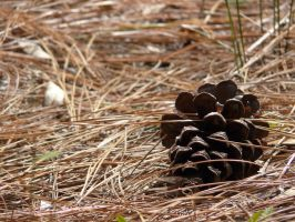 Pine cone by jelbo