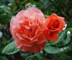 Salmon Rose With Raindrops by photoquilter