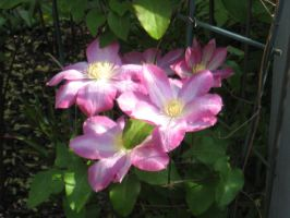 Clematis 1 by groundhog22