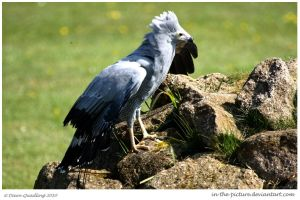 African Harrier Hawk by In-the-picture