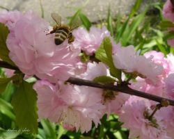 kukucs~peony and bee by andi40