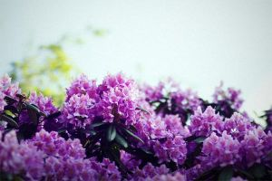 Rhododendron by Freacore