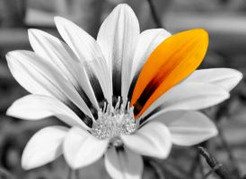 Gazania Color Splash by FauxHead