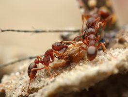 Ants eating a tiger beetle by buleria