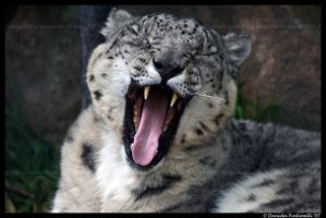 Snow Leopard: Yawning by TVD-Photography