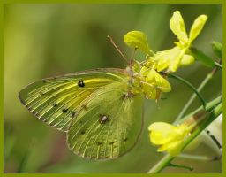 Yellow Sulphur by barcon53