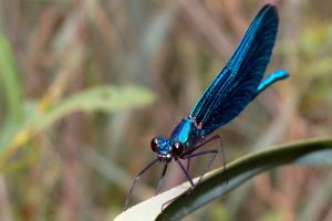 Damselfly by malaladanila