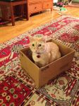 My cat sitting in a box by jothecatlover