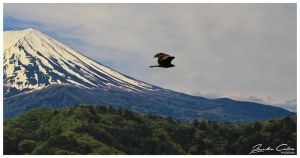 Whistling kite over Fuji by jaydoncabe