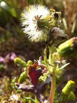 Common Groundsel by Witchuptheroad