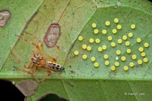 Jolly Telamonia Jumping Spider and her eggs by melvynyeo