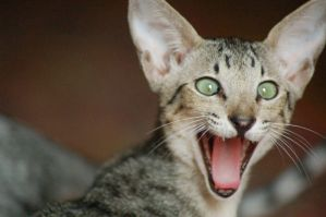 Such a Lolcat by Fohat